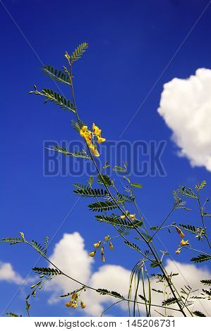 The Sesbania Javanica Backdrop Is The Sky And The Clouds.