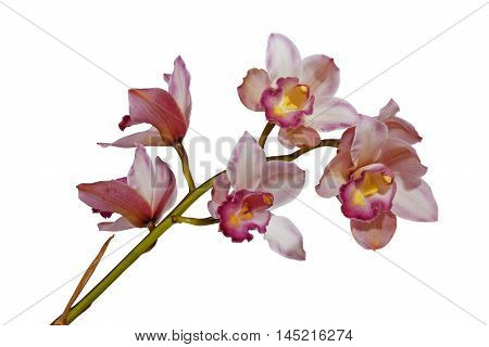 Pink Cymbiudium Orchids With Green Stem On White Background