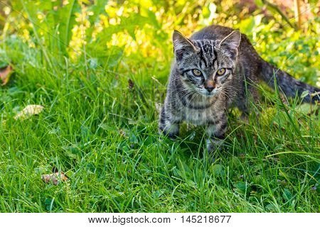Little Tabby Tomcat On The Lawns