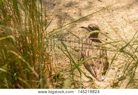 Small Brown Sandpiper Water Bird Sitting On Nest