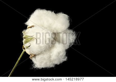 macro of cotton ball isolated on black background