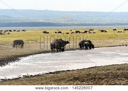 Buffalo In The Savannah