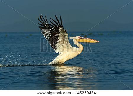 Pelican On The Lake Naivasha