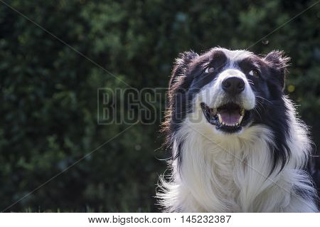 portrait of a border collie dog and still see what's around him