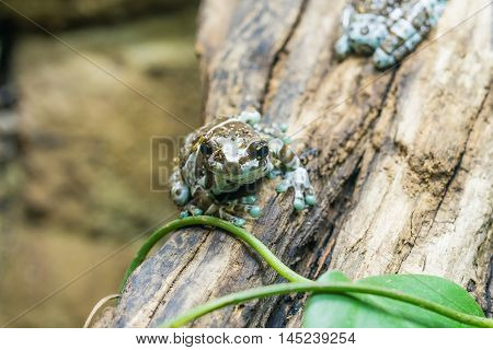 phrynohyas resinifictrix - Mission golden-eyed tree frog