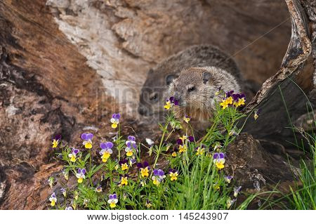 Young Woodchuck (Marmota monax) Sniffs at Flowers - captive animals poster