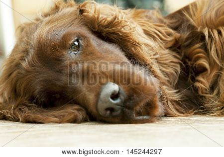 Lazy Irish Setter dog looking on the ground