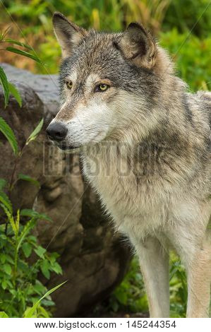 Grey Wolf (Canis lupus) Stands Near Rock - captive animal