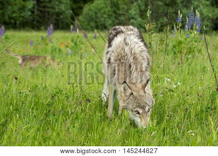 Grey Wolf (Canis lupus) Yearling Looks Up From Grass - captive animal