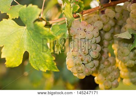 Bunches of green wine grapes growing in vineyard. Close up view of fresh green wine grape. Bunches of green wine grapes hanging on the wine in late afternoon sun. Ripe green grape.