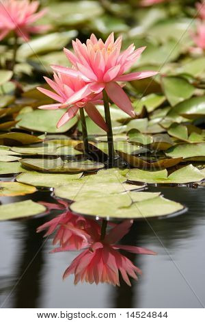 Water Lily in a pond