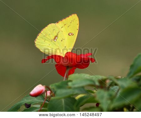 A bright yellow orange-barred sulphur butterfly drinking for a red impatiens flower on dark green background.