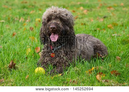 Portrait of a male Cockapoo dog (Cocker Spaniel and poodle mix), lying on the grass, local park, Liverpool, England