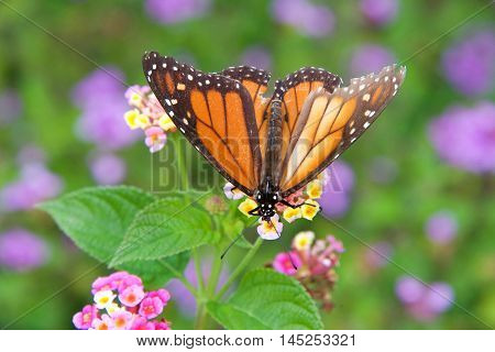 tattered Monarch butterfly on yellow and pink lantana flowers drinking nectar. It may be the most familiar North American butterfly and is considered an iconic pollinator species. Top view