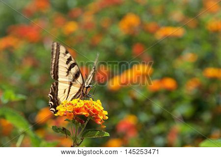 The Black Swallowtail butterfly also called the American Swallowtail or Parsnip Swallowtail. Drinking nectar from orange and yellow Lantana flowers front view