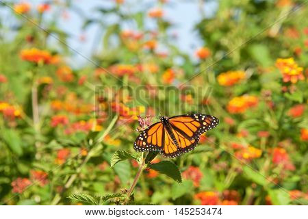 Monarch butterfly on orange lantana flowers drinking nectar flowers and blue sky in background. It may be the most familiar North American butterfly and is considered an iconic pollinator species