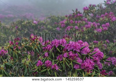Rhododendron in Foreground of More Rhododendron on a foggy morning