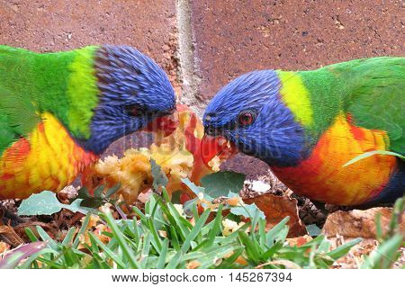 Colourful Lorikeet parrots eating an apple on the lawn