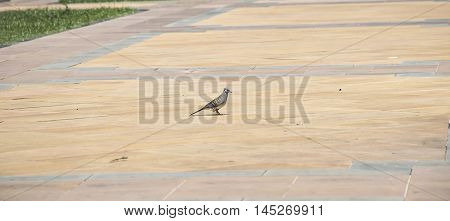 one dove on tile floor in Thailand.