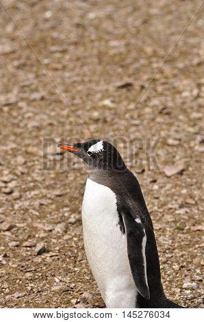 Gentoo penguin on the pebble floor at Antarctica