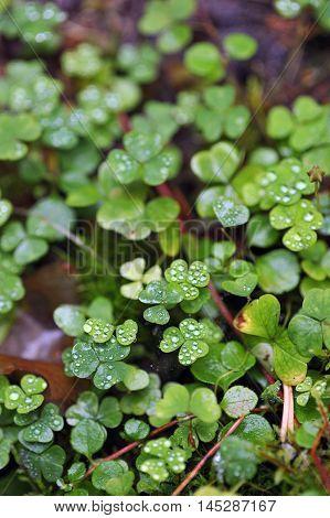 Oxalis With Raindrops