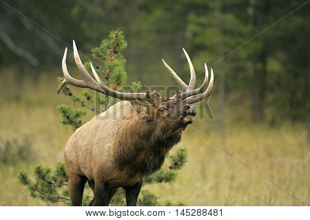 Elk Bull with large antlers in meadow, calling
