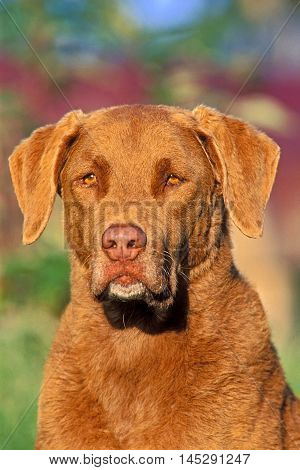 Chesapeake Bay Retriever portrait Head close up