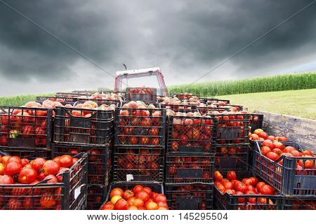 tractor charged with crates filled by red tomatoes to transport them to market