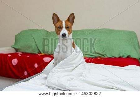 Morning scene in bedroom of adorable basenji dog.