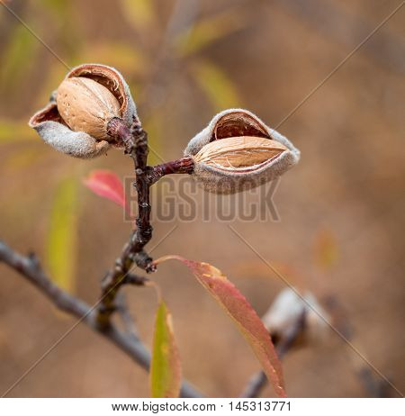 Ripe almond nuts on the branch of almond tree in early autumn. Ripe almonds on the tree branch. Horizontal. Daylight.