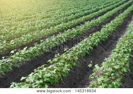 Outdoor Photo Of Soy Bean Plants In A Field,soybean Field With Rows Of Soya Bean Plants, Selective F