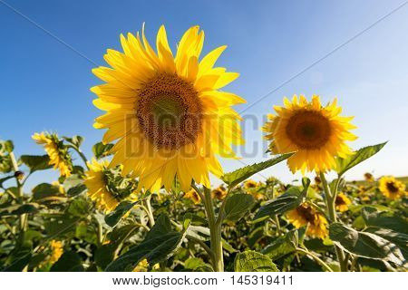 Beautiful sunflowers in the field illuminated by evening sun