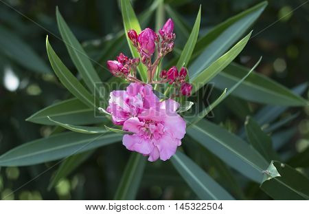 Oleander flower with green leaves on the background