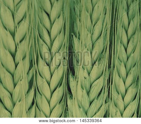 Wheat harvest on the field Wheat harvest field season summer autumn barley crops beans cereals collection bread growth nature flora plants benefit nutrition health product background wallpaper.
