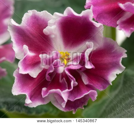 Beautiful claret violet flower over leaves background