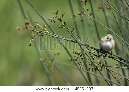 Beautiful image of a nature trail find. A fledgling male Bearded Reedling also known as a Bearded Tit rests on reed foliage against a blured background. The cute young bird has scruffy feathers! Left of image provides limited copy space ideal for advertis