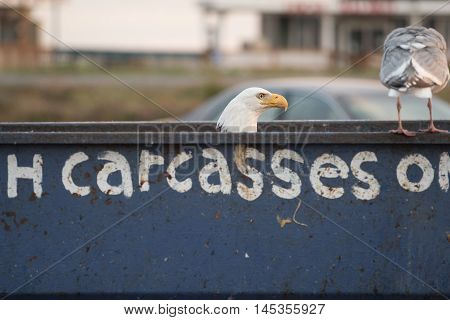 Bald Eagle Scavenging