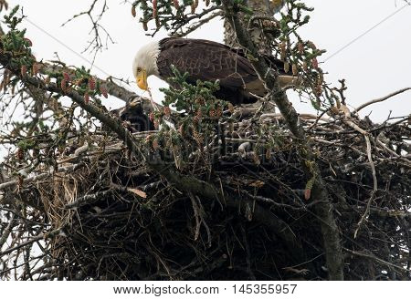 Bald Eagle Nest In Alaska