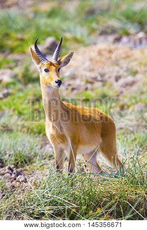 A male impala standing at the savannah of Serengeti, Tanzania in Africa. Wild animal at a safari game drive.