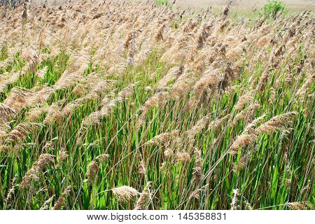 Blooming Foxtail In Summer Sunny Day