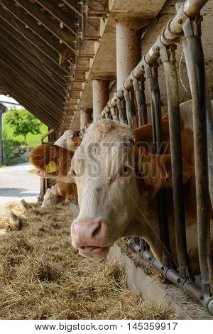 Cows eat hay which is prior to the playpen