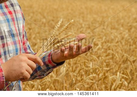 Man holds a ripe wheat . Man hands with wheat. Wheat field against a wheat field. wheat harvest in the field.