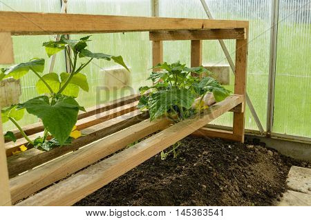 several tomato plants in the greenhouse with self-built stature Help