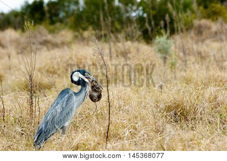 Great Blue Heron Bird Catching A Mouse - Image 3 Of 4