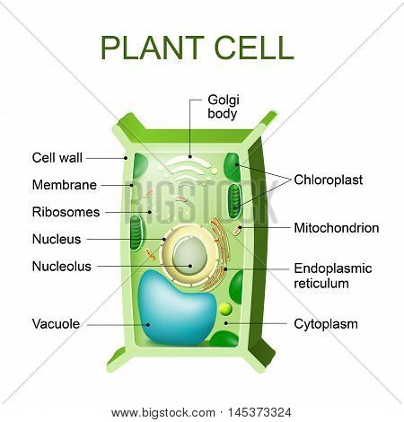 Plant cell anatomy. Cross section of a plant cel