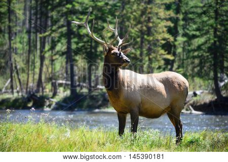 Male Elk wildllife in Yellowstone National Park Wyoming at a meadow near yellowstone river. Beautiful big deer in nature.