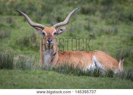 A lechwe, Kobus leche, or southern lechwe, is an antelope found in wetlands of south central Africa and seen here lying on the grass staring at the camera.
