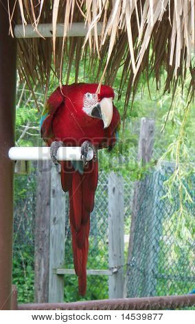 Red and Blue Macaw