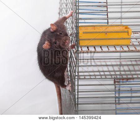 portrait of a curious black rat on a cage