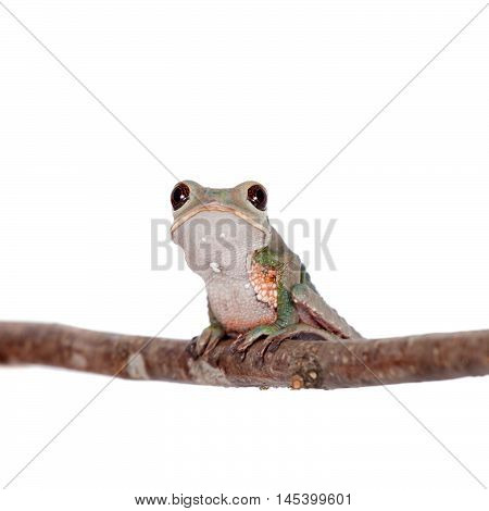 Tarsier Monkey Frog, Phyllomedusa tarsius, isolated on white backgroun